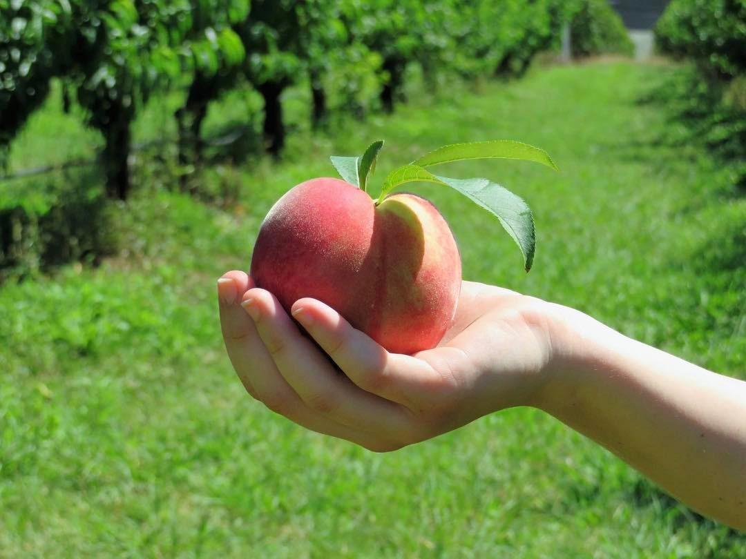 Pick Your Own Stonefruit - Weekends