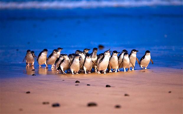 Phillip Island Penguin Parade - Private Tour