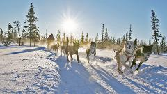 Run your own sled dog team