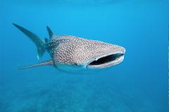 Whale Shark Discovery