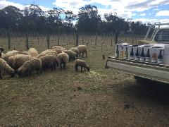 Vineyard tour, tasting and meet our wooly workers