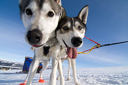 With huskies along the northern Kings Trail