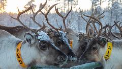 Real life Reindeer herding, 3 hours