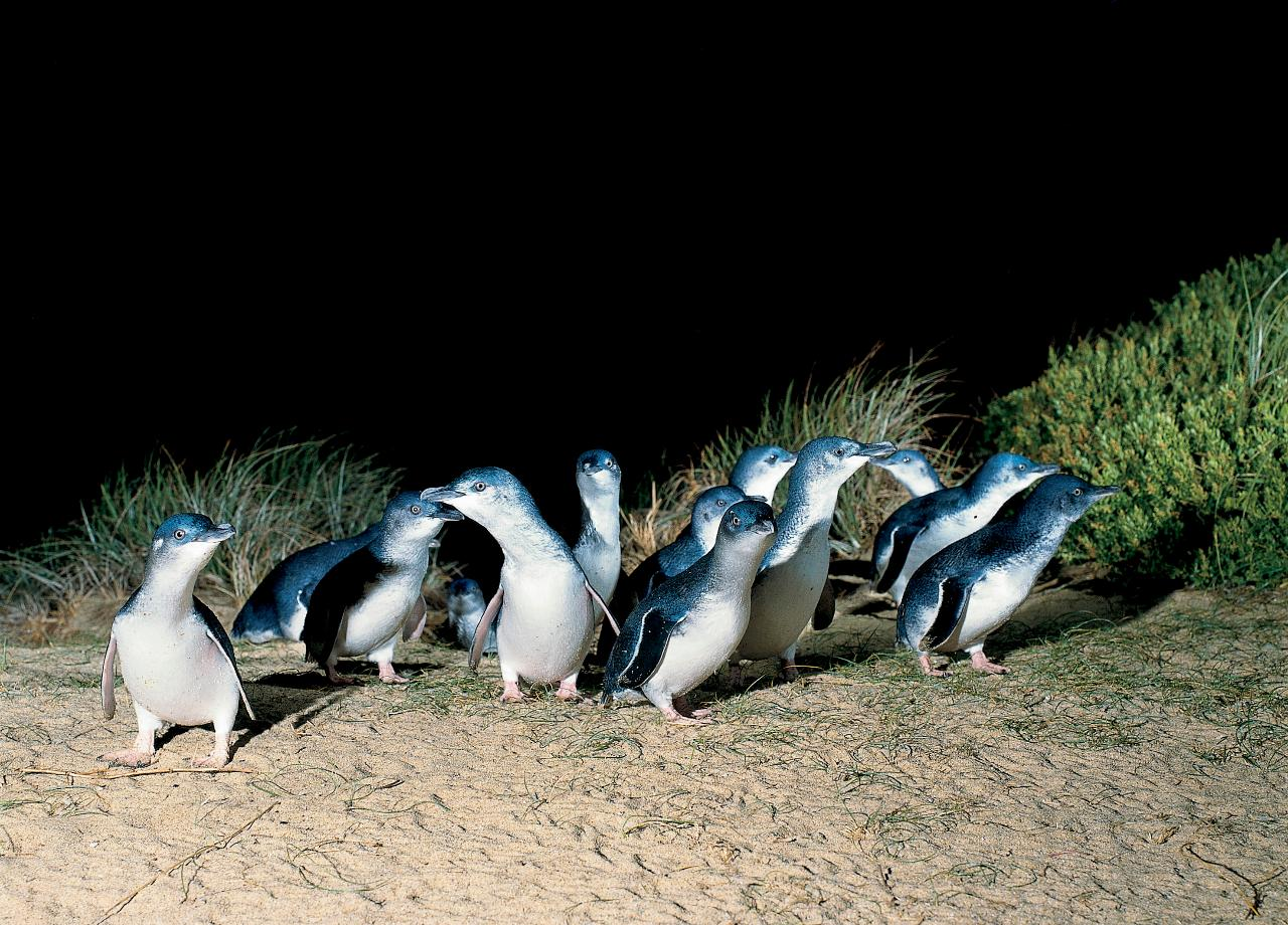 Penguin parade walks and wildlife in the wild