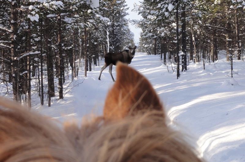 Moose safari on horseback