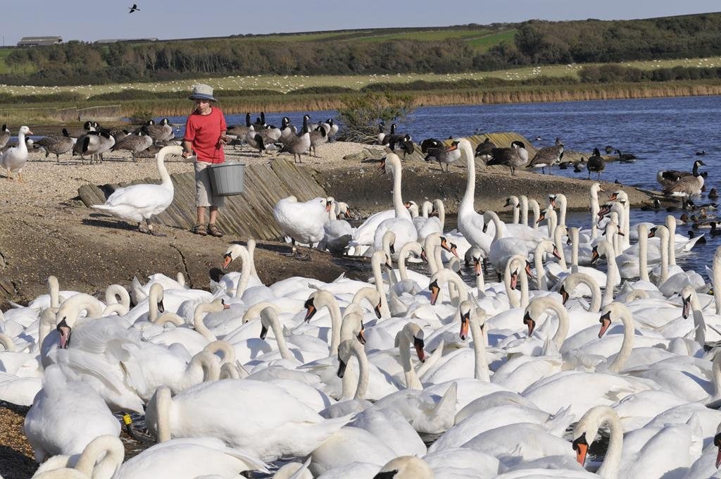 Abbotsbury Swannery & Sub Tropical Gardens - Thu 30th May 2019
