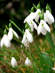 Snowdrops at Kingston Lacy - National Trust - Wed 14th Feb 2018