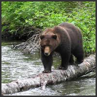Pack Creek Independent Bear viewing