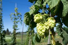 Fresh HOP and Brew Tour -     1:30 - 5:30PM