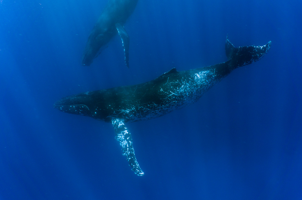 Dolphin Research Institute - 8-day Expert Led Tonga Whale Swims