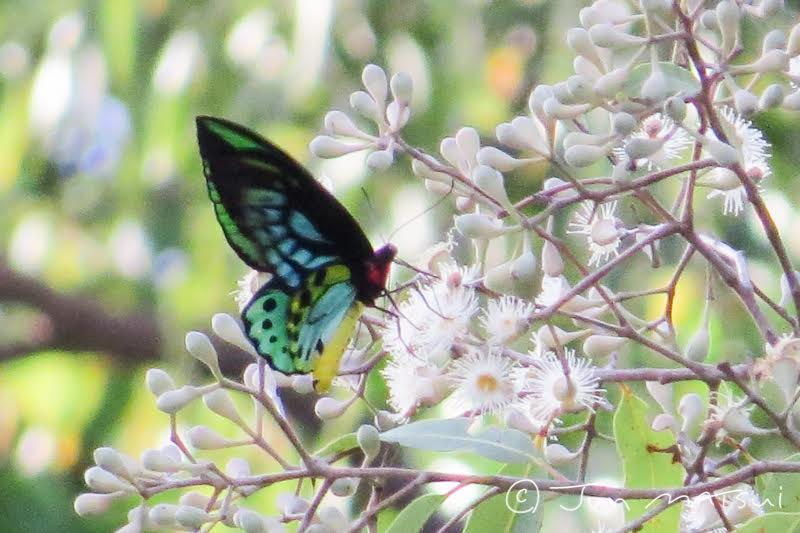 Illawarra Birders Cape York Trip