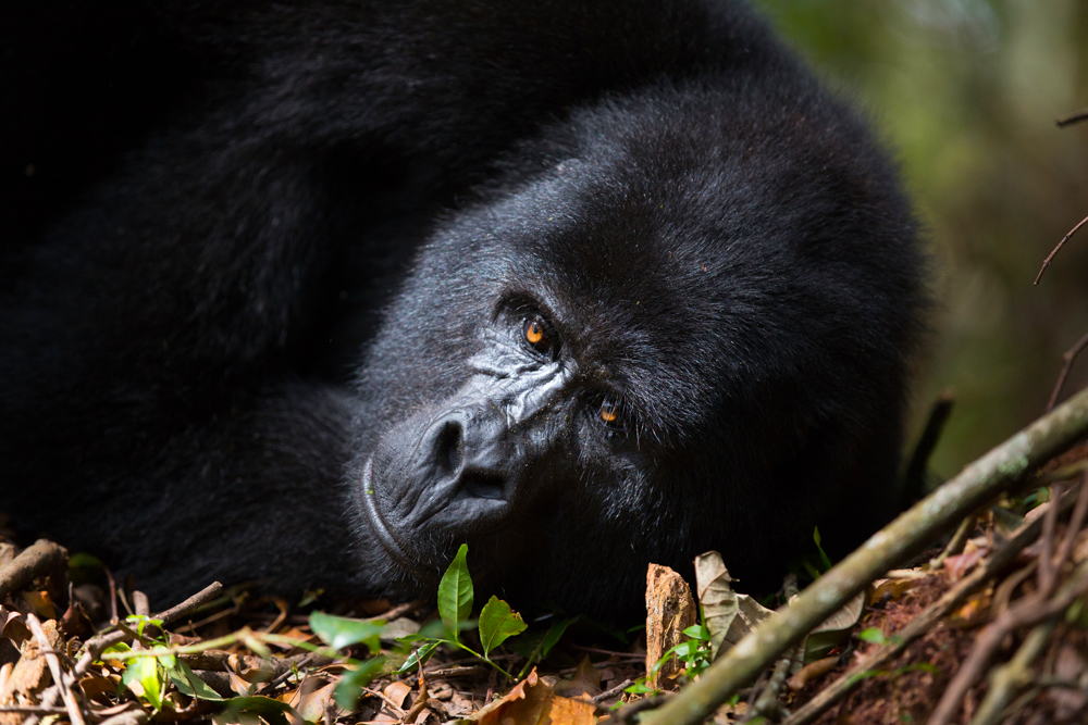 PRIMATES IN THE PEARL OF AFRICA - GROUP DISCOVERY TOUR, GORILLAS, CHIMPANZEES