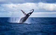 'Humpback Highway' Whale Watching Experience