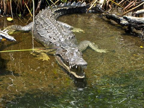 233cad93750640279dfab5cf175718baCrocodile