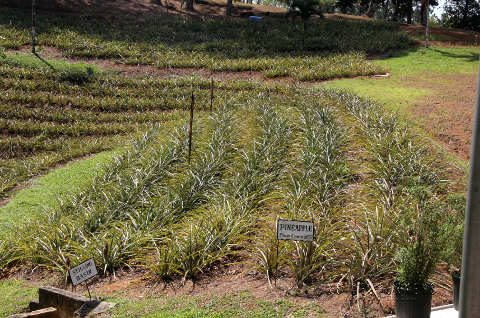Pineapple_field_at_Croydon