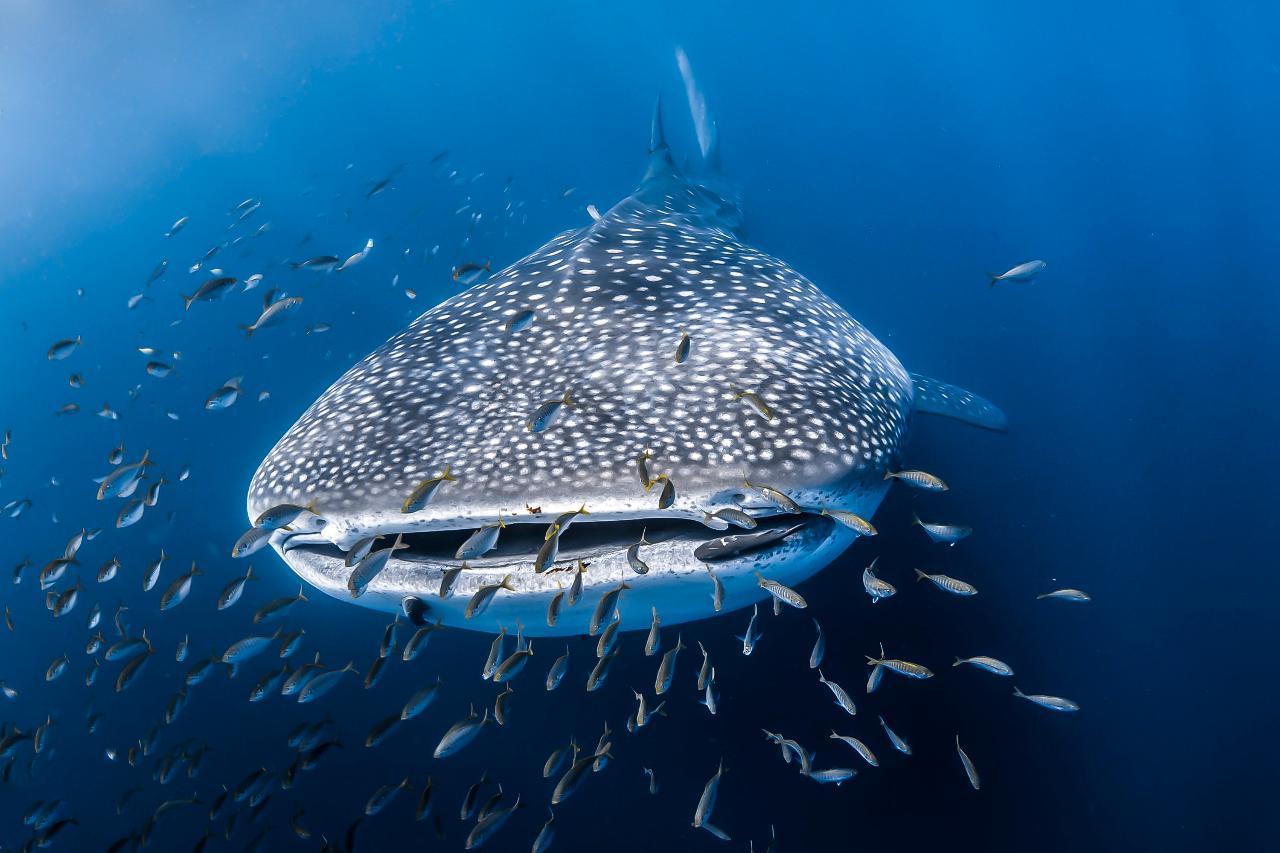 Whale Shark Adventure Tour