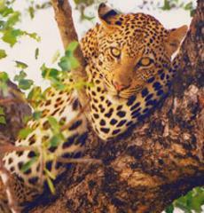 Leopard Safari-Kenya