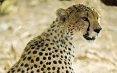 Cheetah Safari-Kenya
