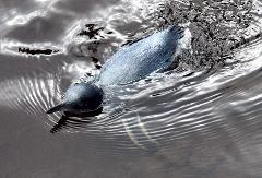 Akaroa & Banks Peninsula Wild Penguins Eco-Tour from Christchurch