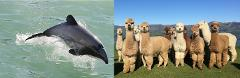 Akaroa Well-being Eco-Safari Day Tour from Christchurch: Dolphins & harbour nature cruise + Alpacas farm tour option