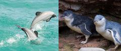 Akaroa Well-Being Eco-Safari Day Tour from Christchurch: Penguins + Dolphins nature safaris and cruise option