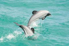Akaroa Well-being Eco-Safari Day Tour from Christchurch: Dolphins & harbour nature cruise option
