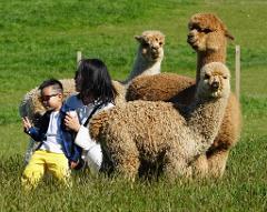 Akaroa Well-being Eco-Safari Day Tour from Christchurch: Alpaca farm tour option